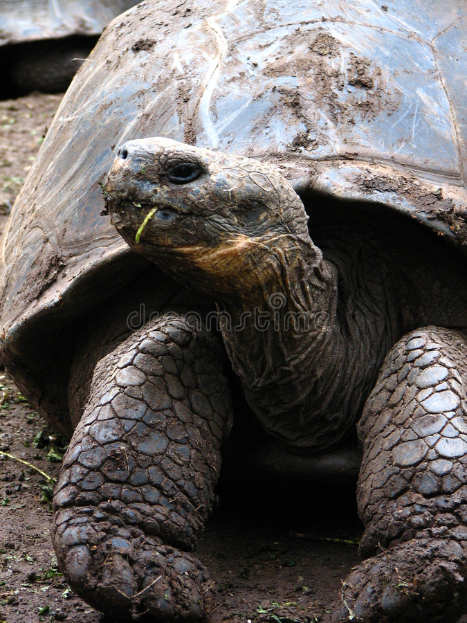 Download Giant Rare Galapagos Tortoise Stock Image - Image: 5699035