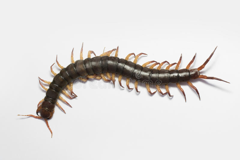Giant Centipede Stock Photos - Download 618 Royalty Free Photos
