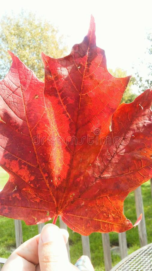 Giant red maple leaf of fall stock images