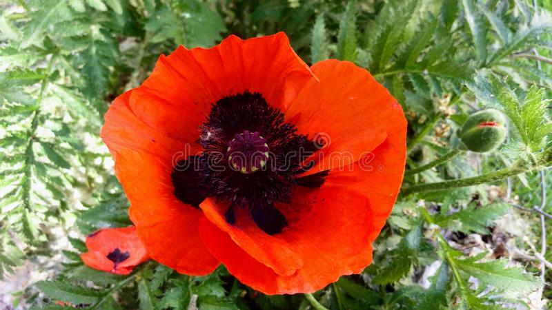 Giant Red Oriental Poppy Macro royalty free stock images