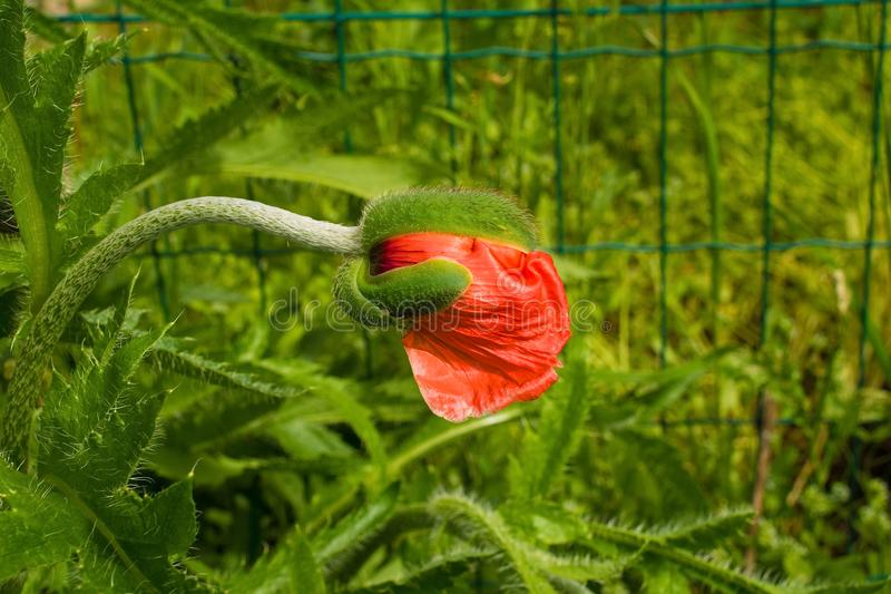 Giant Red Poppy Bud. The bud of a giant red poppy in natural sunlight with various grasses and other plants in the background. Photographed in north east Italy stock image