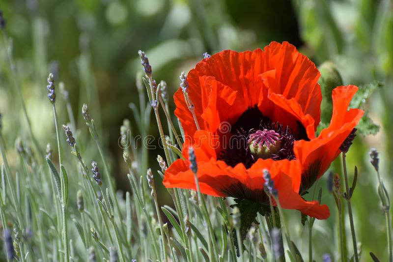 Giant Red Poppy Flower in Sunlight. A giant red oriental poppy flowering in a lavender herb bed stock images