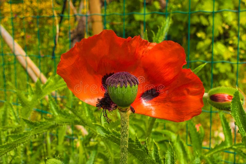 Giant Red Poppy. A giant red poppy which has dropped half of its petals in natural sunlight with various grasses and other plants in the background. Photographed royalty free stock photo