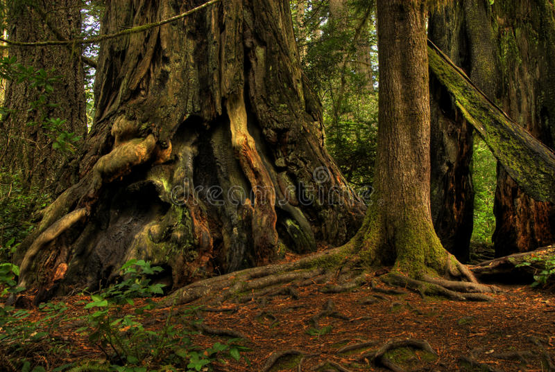 Download Giant Redwood in a Forest. stock image. Image of daylight - 25411389