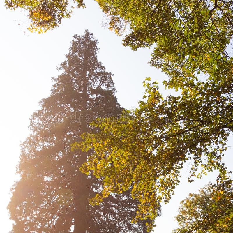 Giant redwood and maple tree royalty free stock images