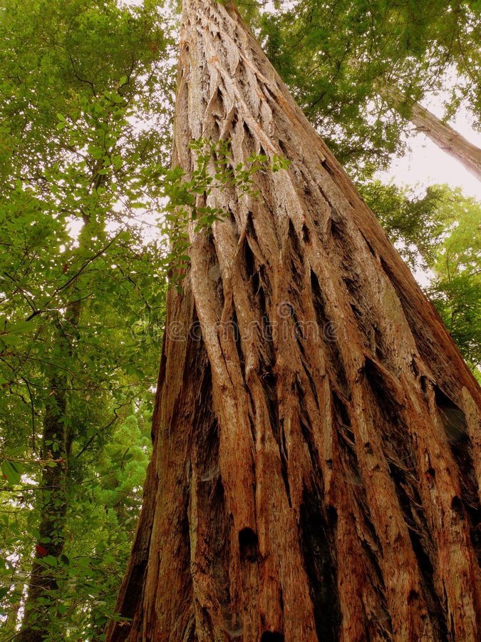 Download Giant Redwood Standing Proud Stock Photo - Image: 3602084