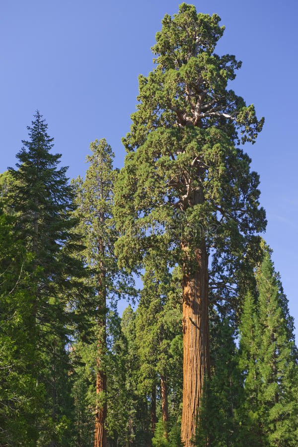 Download Giant Redwood Trees stock image. Image of nobody, park - 10545487