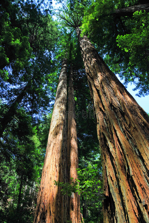 Giant Redwood trees, Muir Woods National Monument. Giant Coastal Redwood trees, also known as Sequoias, in one of the last few groves of coastal redwoods royalty free stock images