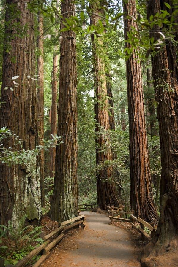 Giant redwood trees in Muir Woods, California