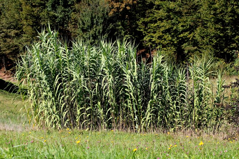 Giant reed or Arundo donax tall perennial cane densely growing plants with grey green sword like leaves surrounded with grass stock photos