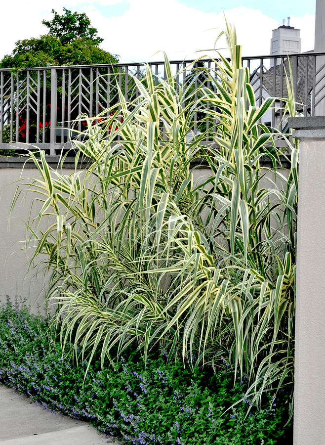Giant Reed Grass - Arundo donax stock image