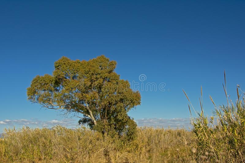Giant reed plants and tree in Guadalhorce river estuary nature reserve, Malaga, Spain stock images