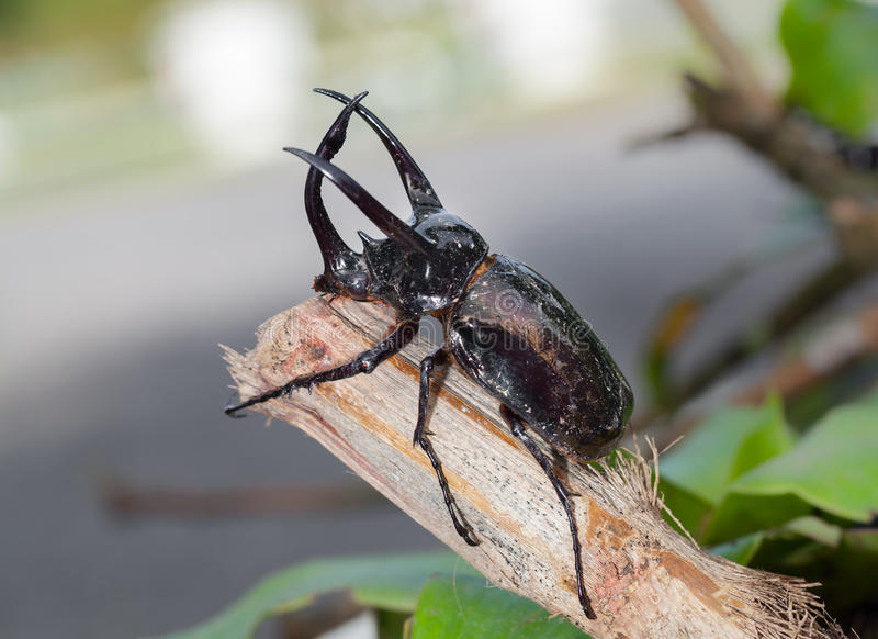 Giant rhinoceros beetle stock image