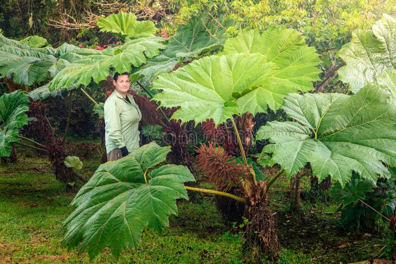 Giant rhubarb stock image