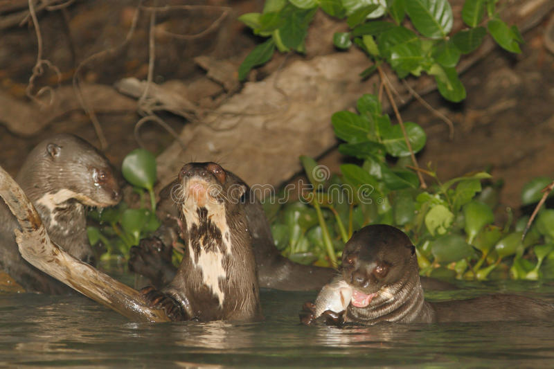 Giant River Otters at lunch stock photography