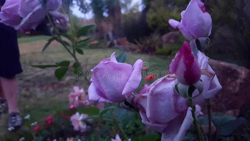 Giant& x27; s Rose Garden immagine stock libera da diritti