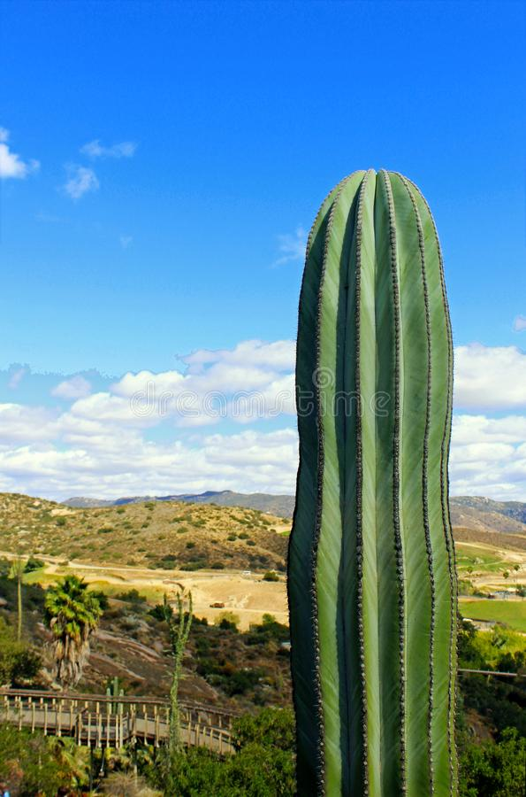 Giant Saguaro, desert landscape, Cactus. The saguaro, Carnegiea gigantean, is an arborescent tree-like cactus species in the monotypic genus Carnegiea, which can royalty free stock photography