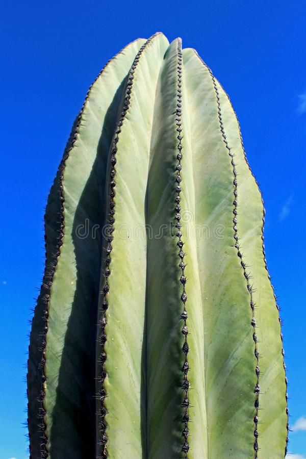 Giant Saguaro, desert landscape, Cactus. The saguaro, Carnegiea gigantean, is an arborescent tree-like cactus species in the monotypic genus Carnegiea, which can stock photography