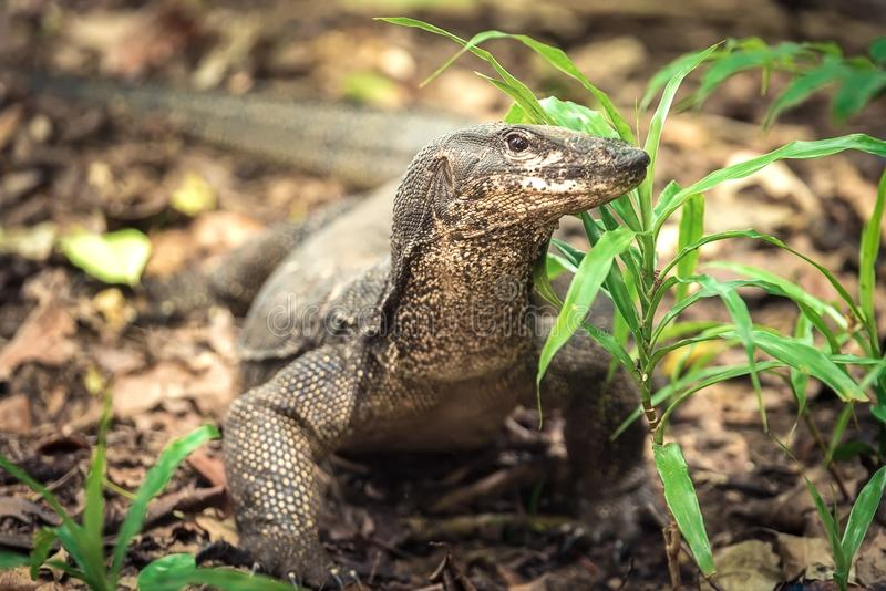 Giant monitor lizard in Palawan Philippines stock photo