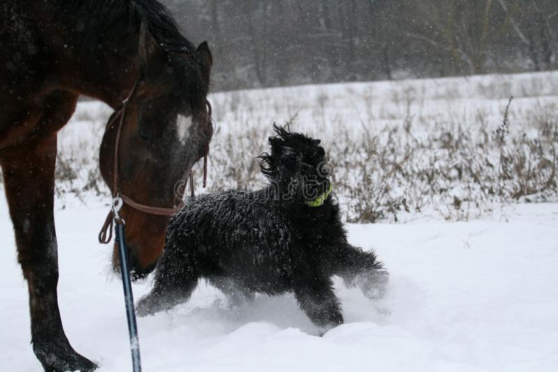 A giant schnauzer on the run A horse stallion runs on a cord, an angry dog is gnawed by him a giant schnauzer. royalty free stock photo