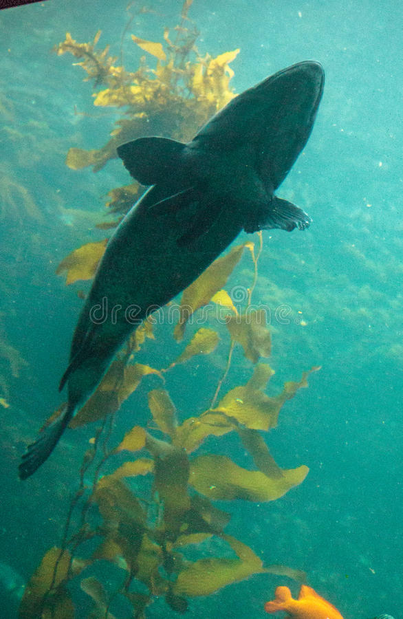 Giant sea bass fish Stereolepis gigas. Floats among giant kelp Macrocystis pyrifera in Southern California royalty free stock photography
