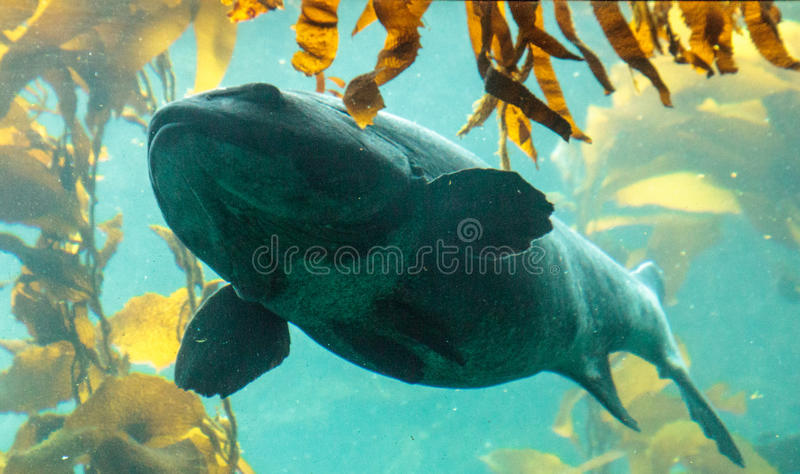 Giant sea bass fish Stereolepis gigas. Floats among giant kelp Macrocystis pyrifera in Southern California royalty free stock photos