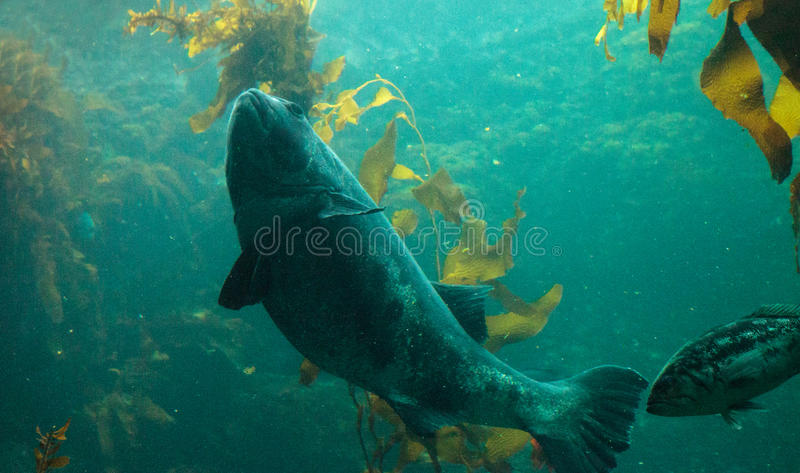 Giant sea bass fish Stereolepis gigas. Floats among giant kelp Macrocystis pyrifera in Southern California royalty free stock images
