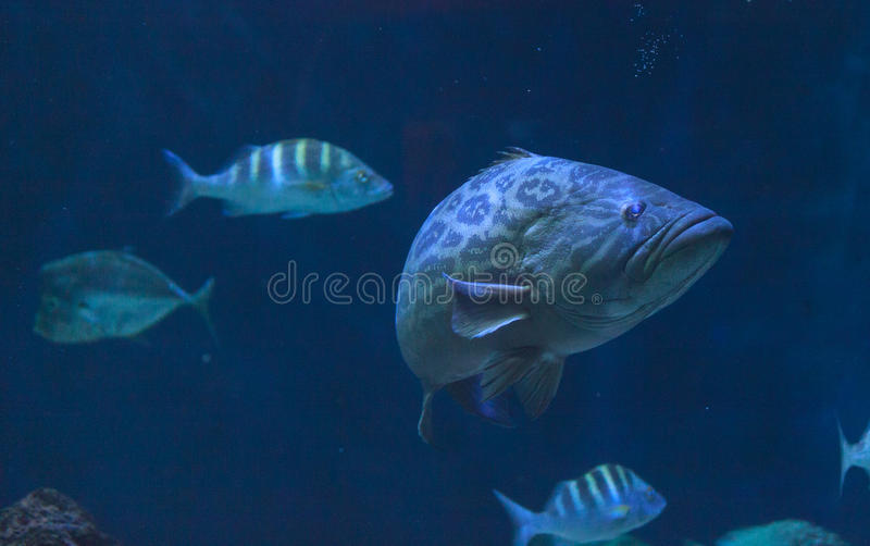 Giant sea bass, Stereolepis gigas stock image