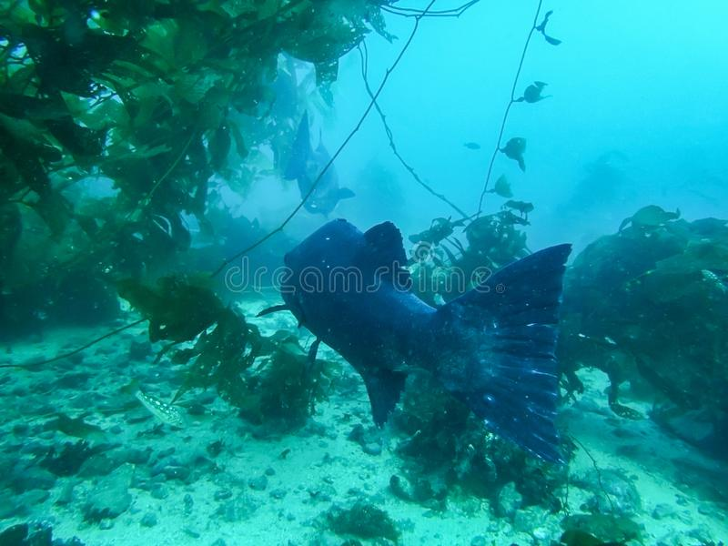Giant Sea Bass Swim in Kelp Forest in Blue Ocean stock image