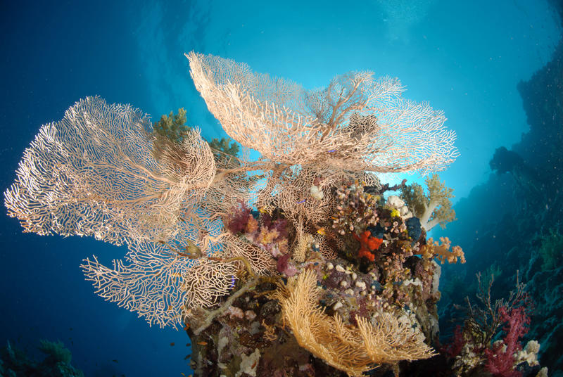 Download Giant sea fan colony stock photo. Image of tropical, angle - 16599992
