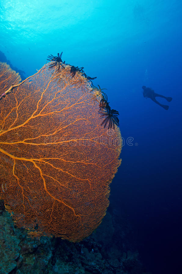 Download Giant Sea Fan And Diver Royalty Free Stock Photography - Image: 28744017