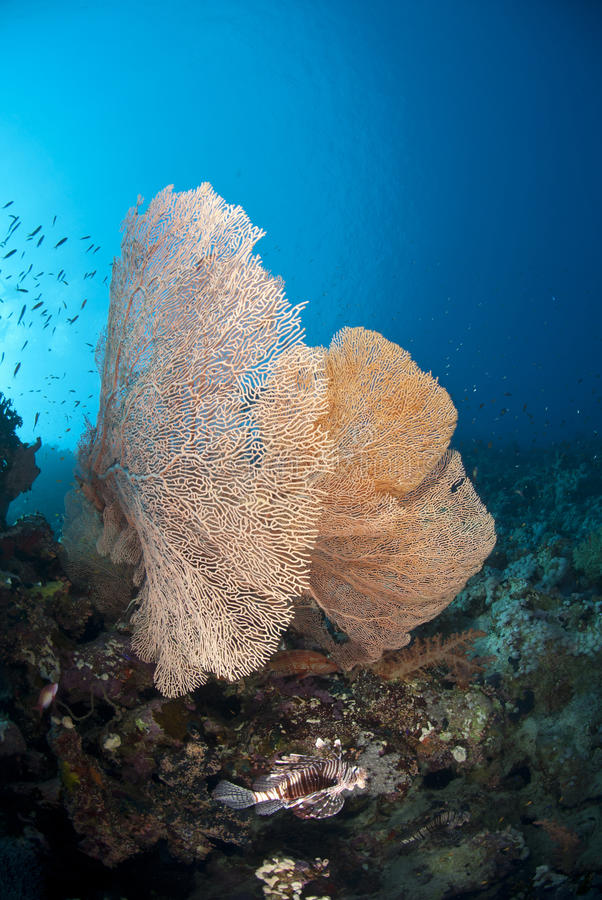 Free Giant Sea Fan With Tropical Common Lionfish. Royalty Free Stock Photography - 16796957