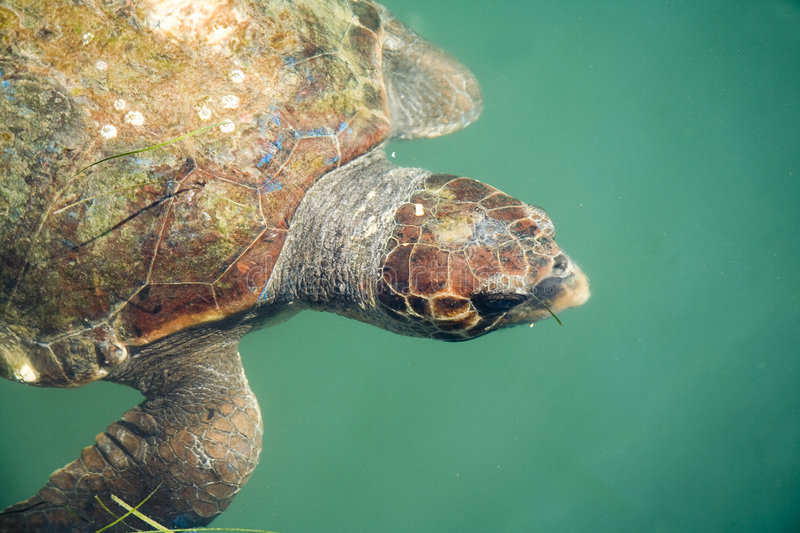 Download Giant sea turtle stock image. Image of water, turtle, greece - 7907803