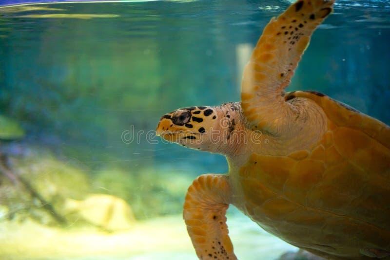 Giant Sea Turtle swimming in a huge aquarium at Sea Liife Ocean World Bangkok stock photos