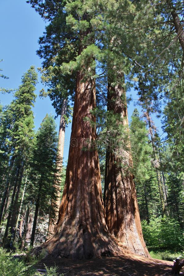 Giant Seqouia trees in Sequoia National Park stock image