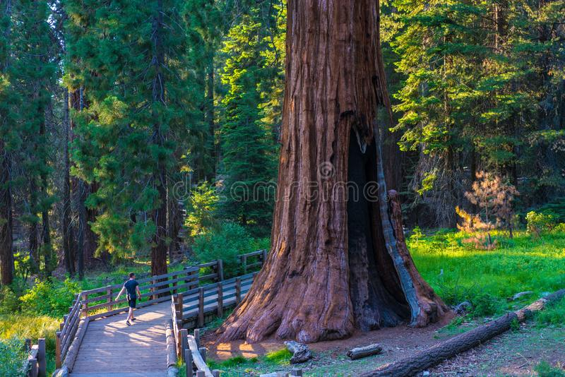 Giant Seqouia Trees fotografering för bildbyråer