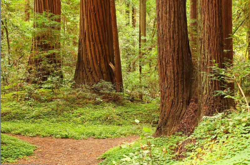 Giant Sequoia stock images