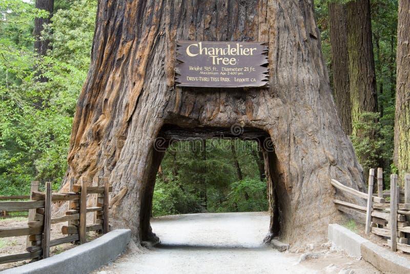 Giant Sequoia stock photography