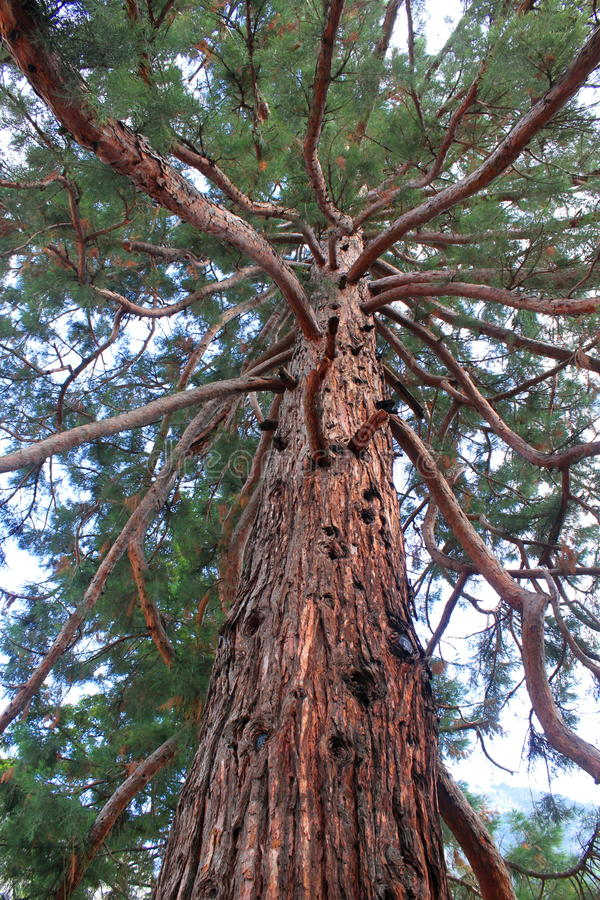 Download Giant Sequoia stock image. Image of coniferous, sequoiadendrum - 32260619