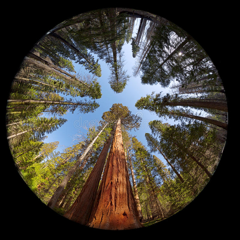 Giant Sequoia Fisheye. Fisheye view of the Giant Sequoia Trees in Mariposa Grove, Yosemite National park, California, USA royalty free stock images