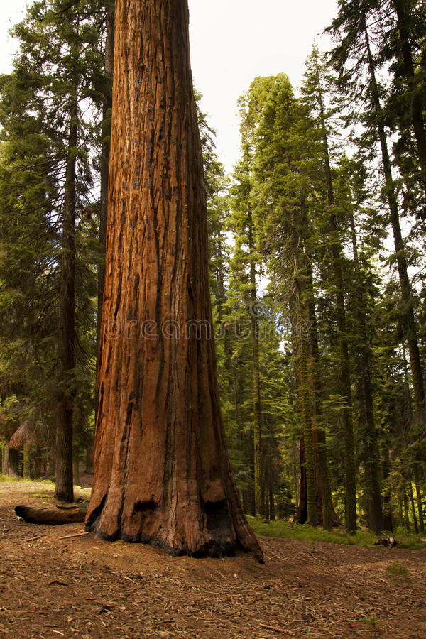 Giant Sequoia National Monument. Giant sequoia and redwood trees in groves at the Sequoia National Monument and Sequoia National Forest along the Sierra Nevada royalty free stock image