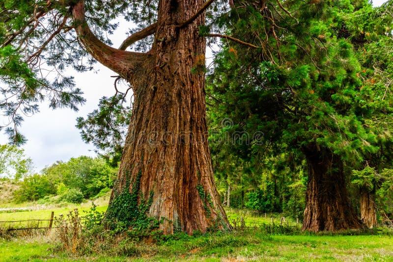 Giant Sequoia Redwood Tree, WIcklow, Ireland royalty free stock photo