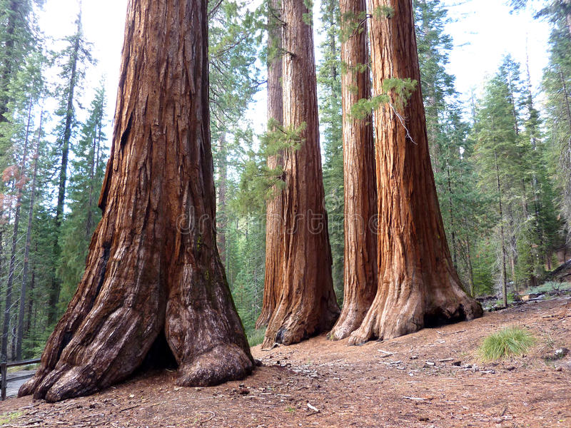 Giant Sequoia's. 4 giant sequoia's in Mariposa grove Yosemite royalty free stock image