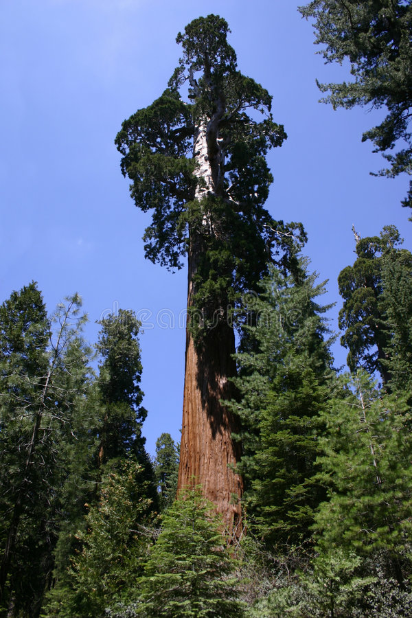 Download Giant Sequoia Tree stock photo. Image of destination, aged - 1395112