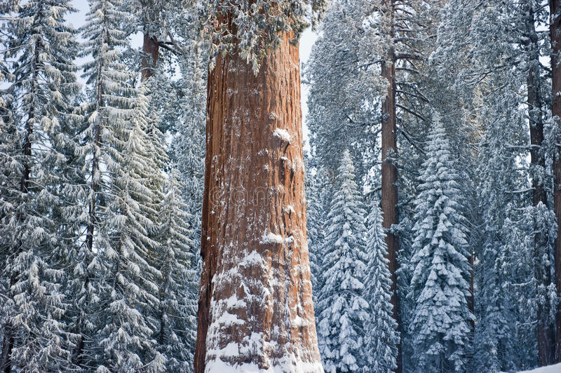The Giant Sequoia Tree covered in snow royalty free stock image