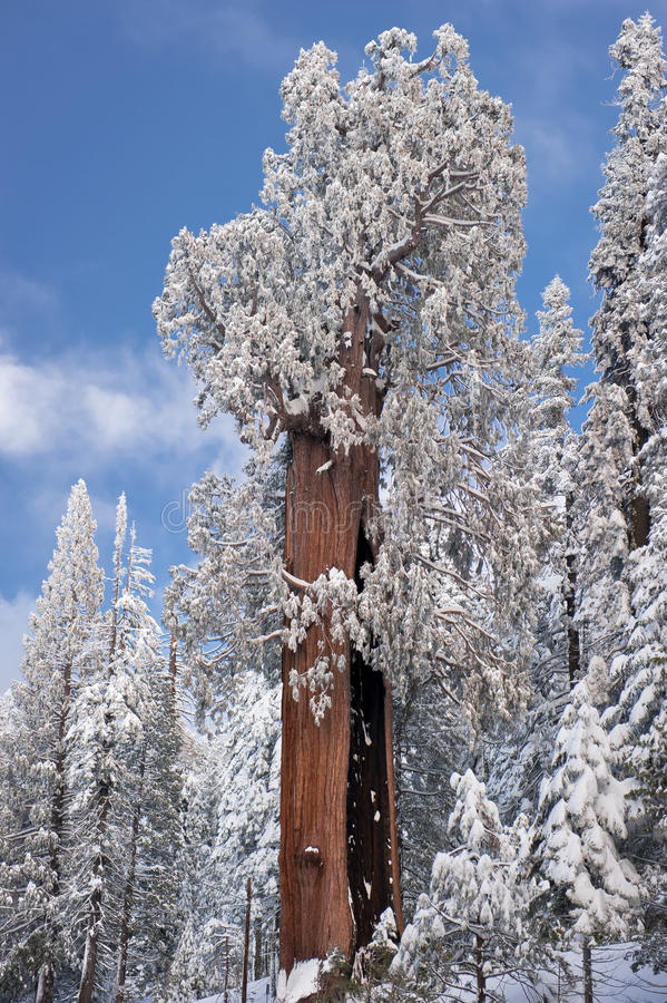 The Giant Sequoia Tree covered in snow stock photography