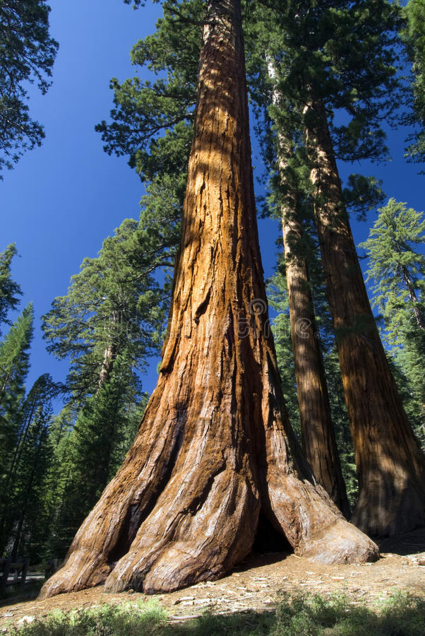 Giant Sequoia tree, Mariposa Grove, Yosemite National Park, California, USA. Giant Sequoia tree in the Mariposa Grove, Yosemite National Park, California, USA stock photos