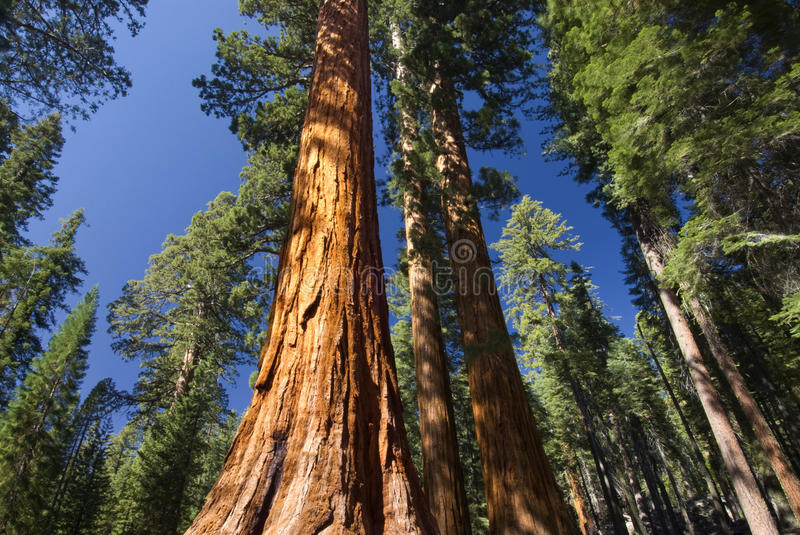 Giant Sequoia tree, Mariposa Grove, Yosemite National Park, California, USA. Giant Sequoia tree in the Mariposa Grove, Yosemite National Park, California, USA stock images