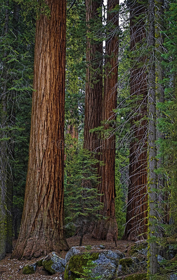 Giant Sequoia Trees, California royalty free stock images