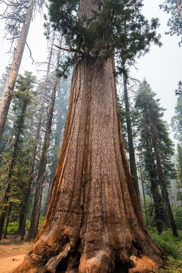 Free Giant Sequoia Trees In Mariposa Grove, Yosemite National Park Stock Photo - 123466380